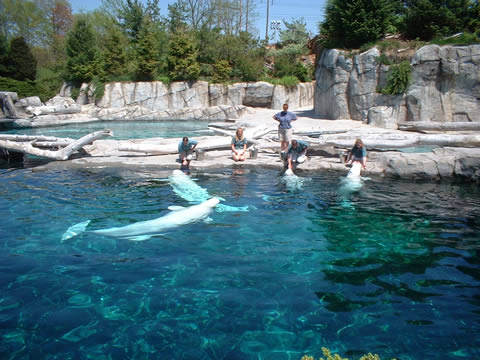 Beluga Whales Waiting To Be Fed